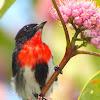 Mistletoebird ( Male )