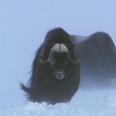 Winter Bull Live Wallpaper