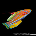 Yellow-Fin Flasher Wrasse