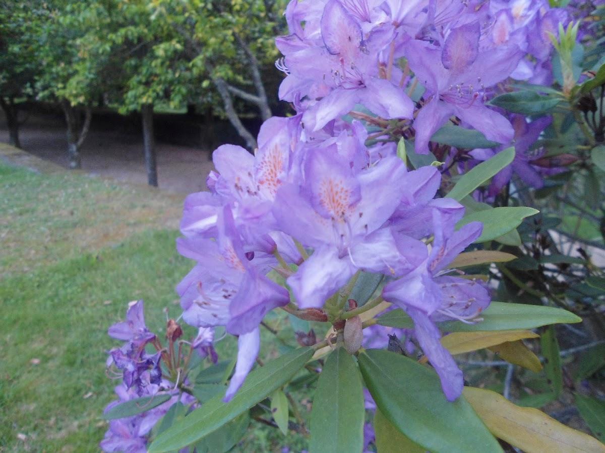 Rododendro(ES) Rhododendron (EN)
