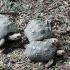 Tortuga morrocoy - Red footed tortoise