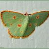Comostola Emerald Moth