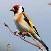 Goldfinch free
