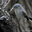 Blue-Grey Knatcatcher
