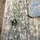 Green Stink Bug (nymph)