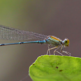 by Rajkumar Biswas - Animals Insects & Spiders ( dragonfly, insects )