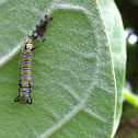Plain Tiger caterpillar