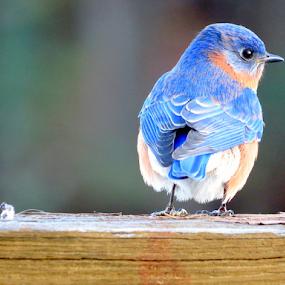 Bluebird of Happiness by Ruby Stephens - Animals Birds ( bird, bluebird, cute bird, blue, bright eyed )