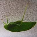 Gum-leaf Katydid
