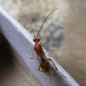 Braconid Opiinae wasp