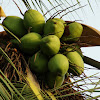 Coconut palm