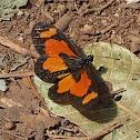Orange-streak Acraea