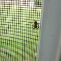 Jumping Spider Thiodina puerpera