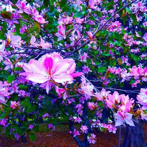 250- A tree full of flowers DSCN6756.jpg