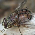 Rutilia Fly