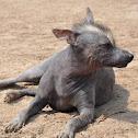 Perro Calato/Calato Dog