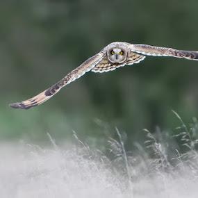 Short Eared owl by Howard Kearley - Animals Birds