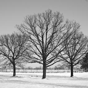 Threes by Goran Kojadinovic - Nature Up Close Trees & Bushes ( winter, park, black and white, snow, three, trees,  )