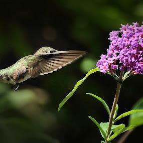 The Mission by Liz Crono - Animals Birds ( flight, birds, hummingbirds )