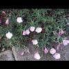 Showy pink primrose