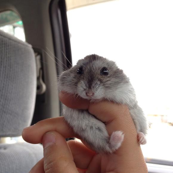 Campbells dwarf hamster lifespan