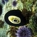 Giant Keyhole Limpet and Purple Sea Urchin