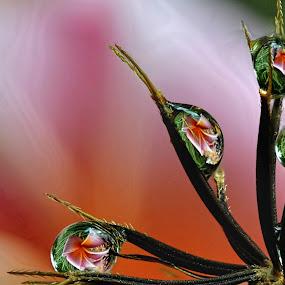 Plumeria in Spanish Needles by Margie MacPherson - Nature Up Close Water ( plumeria, macro, water drops, spanish needles,  )