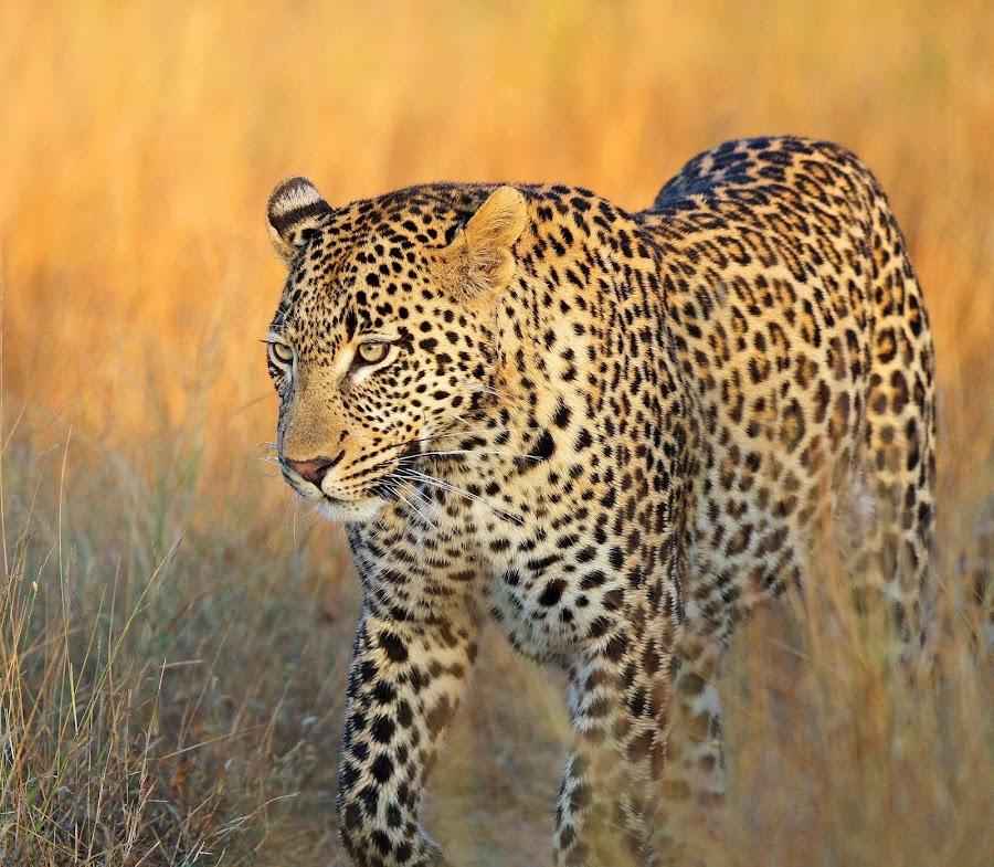 The Vomba Young male by Anthony Goldman - Animals Lions, Tigers & Big Cats ( big cat, wild, predator, male, londolozi, africa, leopard, , Africa, Safari, golden hour, sunset, sunrise, #GARYFONGDRAMATICLIGHT, #WTFBOBDAVIS )