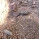 Mottled Vein Antlion (Larva)