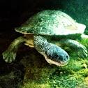 Australian Snake-Necked Turtle