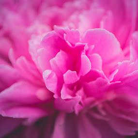 peony by Mary Ozh  - Flowers Single Flower ( #peony #summer #vitebsk #belarus )