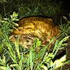 Rospo, toad
