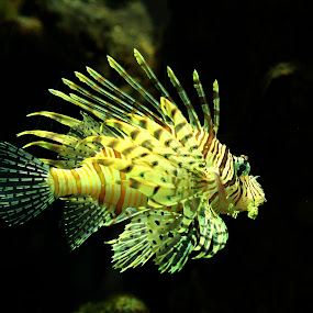 Lion Fish by Elha Susanto - Animals Fish