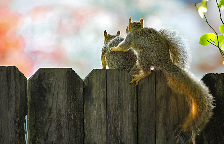 What do you think, Darling? by Richard Duerksen - Animals Other Mammals ( squirrels, pair )