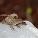 The brown anole
