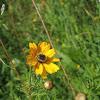 Flower chafer on a chrysanthemum