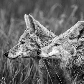 The Ears Have It by Gary Davenport - Black & White Animals ( coyote, two, partners, wildlife, listening, head )