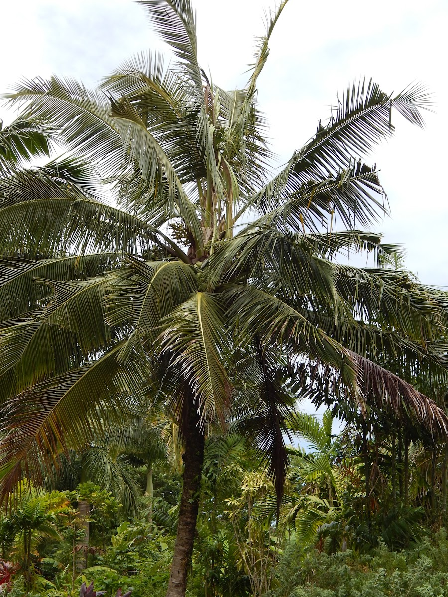 Coconut Tree - Hana, Maui