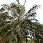 Coconut Tree - Hana, Maui