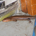 Five Lined Skink