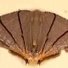 Uranid moth
