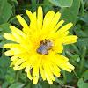 Common Dandelion (Wildflower)