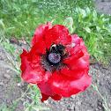 red tulip type flower