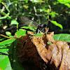 Pelecinid Wasp