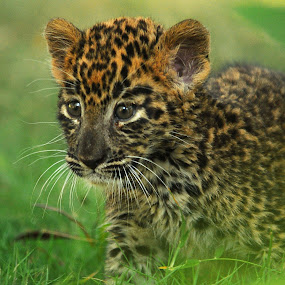 Leo1 by Abhinav Ganorkar - Animals Lions, Tigers & Big Cats ( animals, jungle, wildlife, cubs, leopard,  )