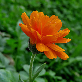 Neven, by Katica Pecigoš-Kljuković - Flowers Single Flower ( izlaz, rosa, leptiri, breg, zalaz )
