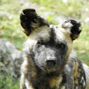 Africa Wild Dog or Painted Dog