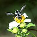 波琉璃紋花蜂 Thyreus decorus