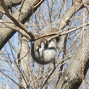 Eastern Gray Squirrell