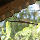 Titan stick insect